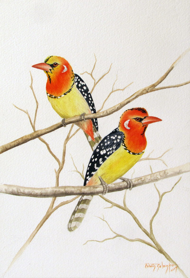 RED & YELLOW BARBETS