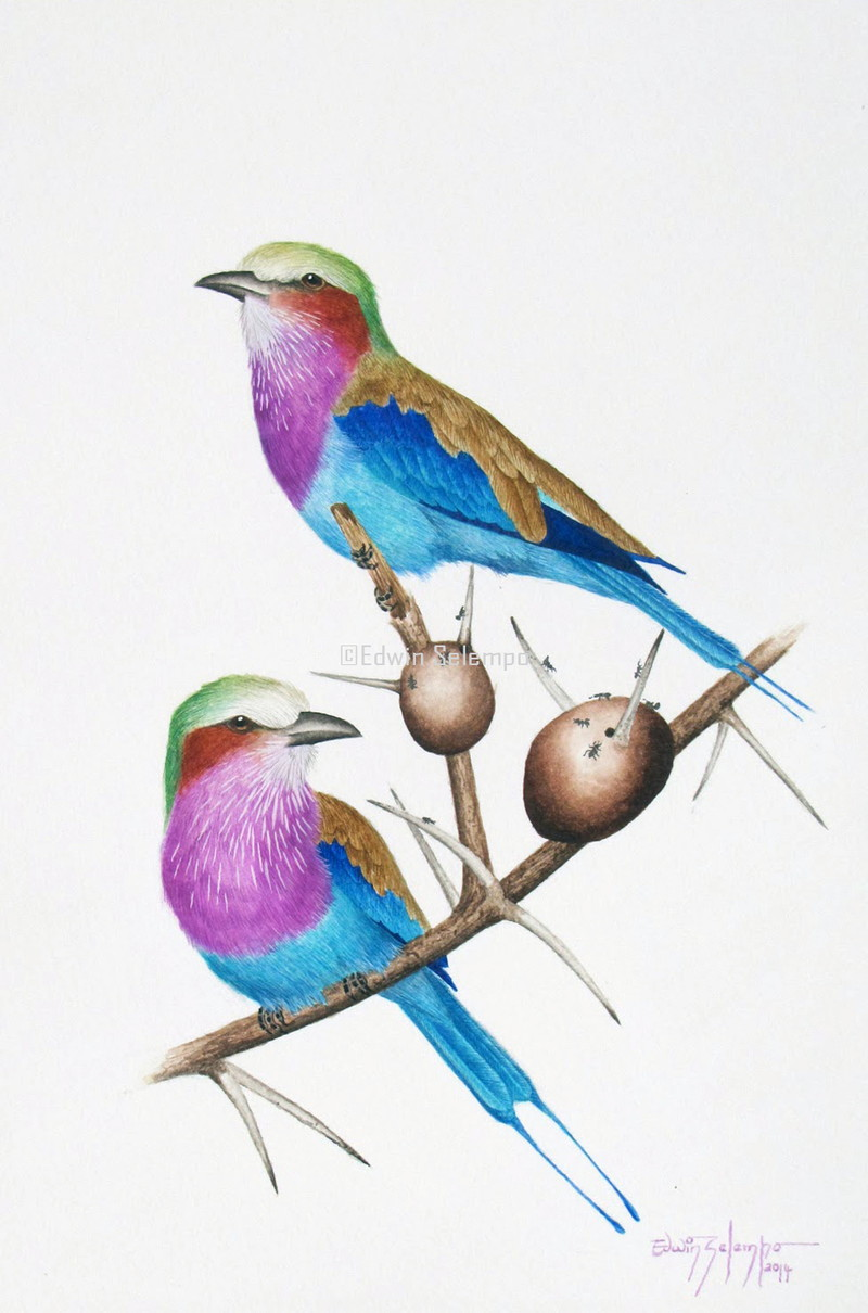 Lilac-breasted Rollers 1