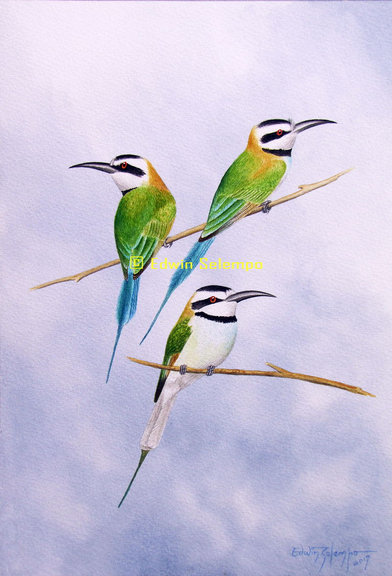 White-throated bee-eaters
