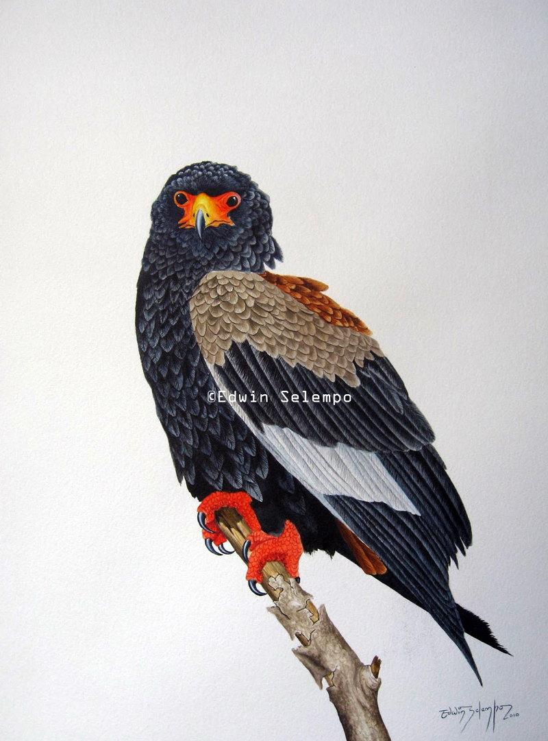 Eagle Bateleur (2)
