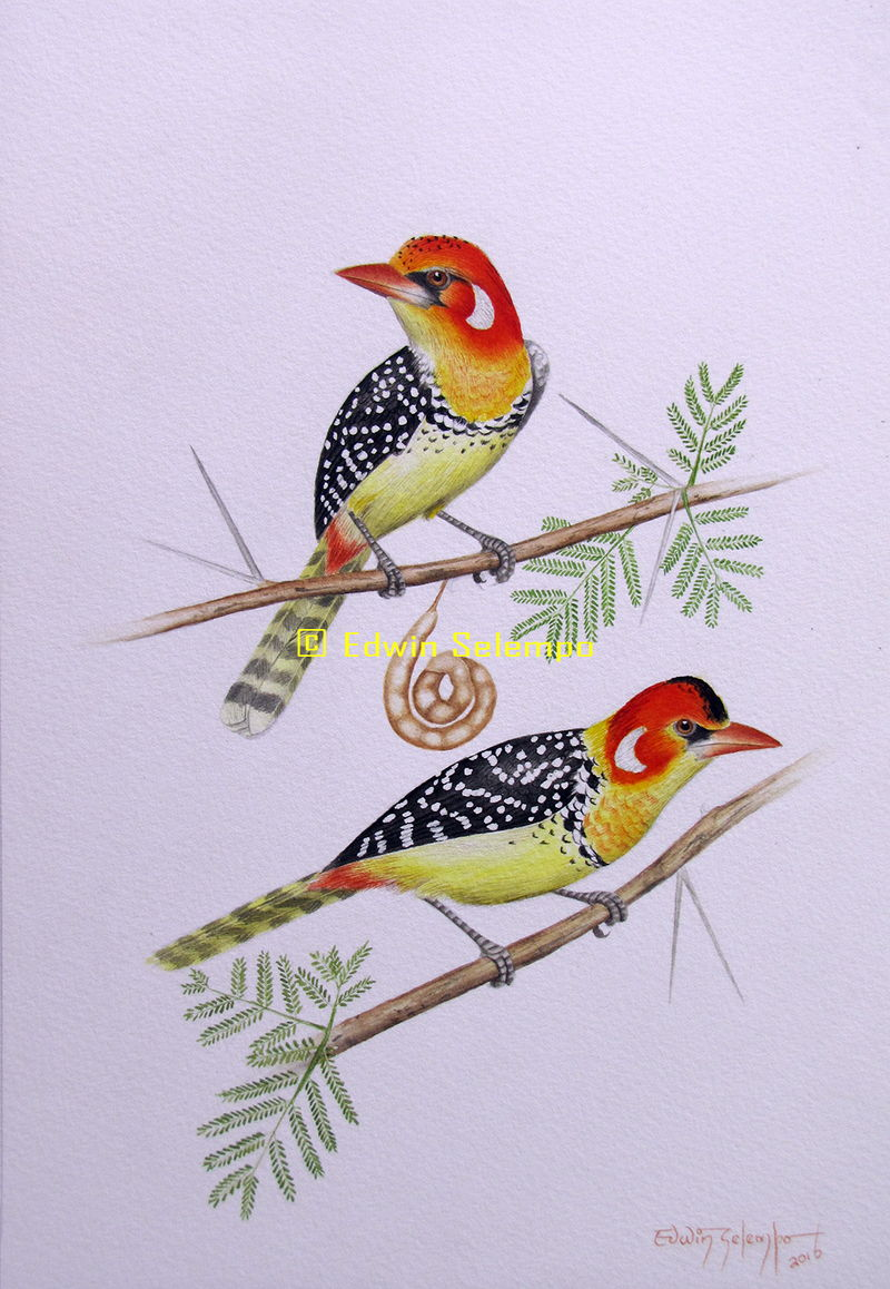 Red&yellow barbet