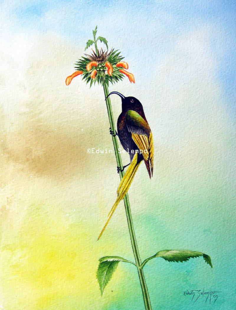 Sunbird Golden-winged- on leonotis