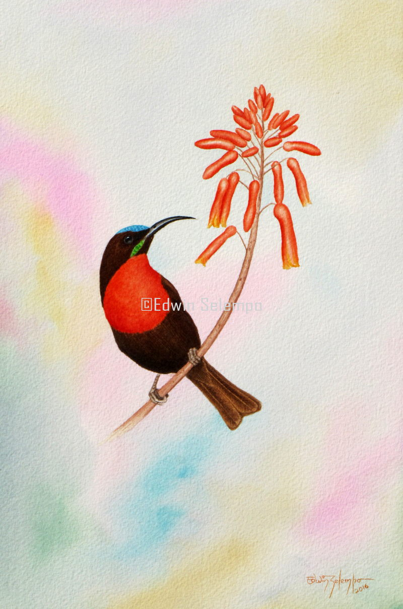 Sunbird scarlet chested